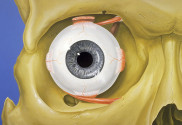 800px-Eye_orbit_anatomy_anterior2